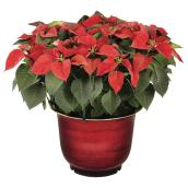 Poinsettia asorti, pot décoratif de 14""