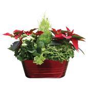 Serres Noël Wilson Poinsettia Arrangement - 6-in - Assorted Colours