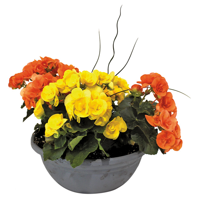 Pot rond noir de 12'' avec plantes assorties
