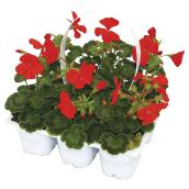 Serres Yargeau - Assorted Geranium Seeds - 6/Pack