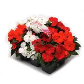 Serres Yargeau - New Guinea Impatiens - Assorted