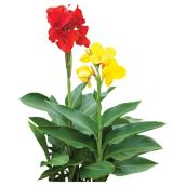 Canna Cannova assortie, pot de 5""