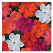 Assorted Impatiens Beacon Walleriana