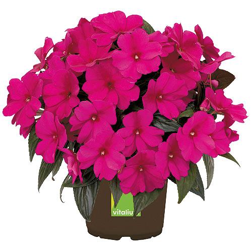 Fleur annuelle