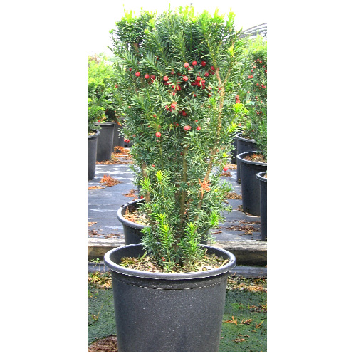 Hicks Yew - 3 Gallons