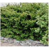 'If Densiformis'' Shrub - 3 Gallons