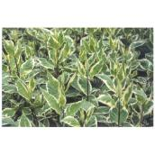 Silverleaf Dogwood - 2-Gallon Pot