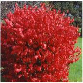 Burning Bush - 3-Gal. Container