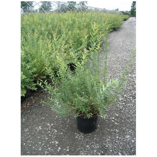 Salix Hakuro Nishiki, contenant de 2 ou 3 gallons