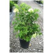 Hydrangee assorti, Willowbrook Nurseries, 2-3 gallons