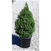 Picea Glauca Conica, 3 gallons
