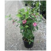 Assorted Rose of Sharon