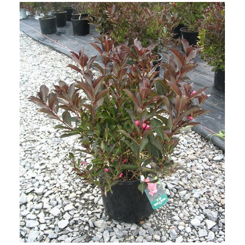 Weigela, pot de 2 gal
