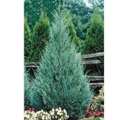 Upright ''Juniperus'' Shrub - 7 Gallons