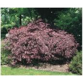Tumukeyama Japanese Maple Tree - 2-gallon pot