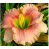Assorted Daylilies - 1 Gallon
