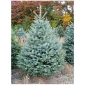Colorado Blue Spruce - 5 Gallons