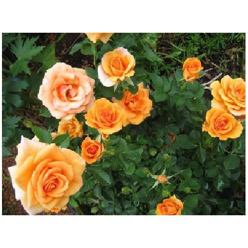 Hybrid Tea Roses - Yellow