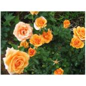 Rosier Hybrid Tea, jaune