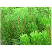 ''Mugo'' Mountain Pine - 3 Gallons