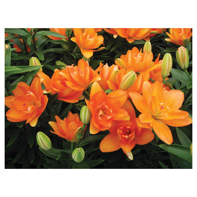Lys asiatique, 1 gallon, assorti