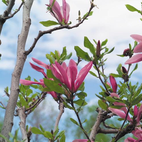 Magnolia - 7-Gal. Pot