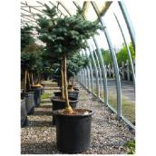 ''Epicea Globe'' Conifer - 3' - 5 Gallons
