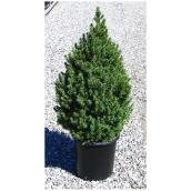 Spruce - 2-3 gallons