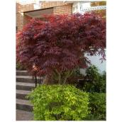 Bloodgood Japanese Maple Tree - 5 Gallons