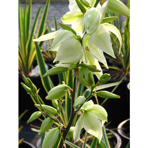 Yucca assortis