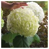 Hydrangea Incrediball - White - 2-Gal.
