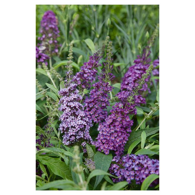 """Buddleia"" Butterfly Bush"