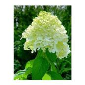 Hydrangea Limelight - 2 Gal Container