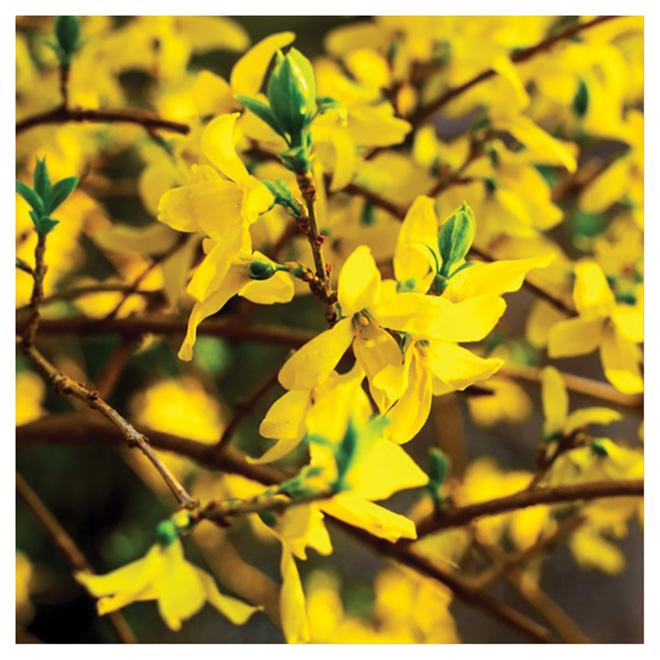 Forsythia, jaune vif, pot 2 gal