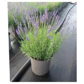 Lavender Plant - 1 Gallon - Assorted