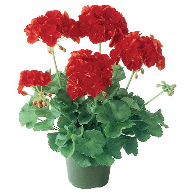 "Geranium - 3.5"" Pot"