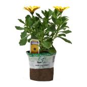 "Osteospermum - 3.5"" Pot - Assorted Colours"
