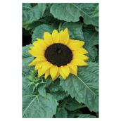Assorted Sunflower - 5-in Grower Pot