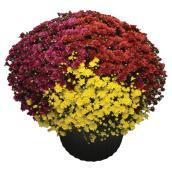 Chrysanthème d'automne