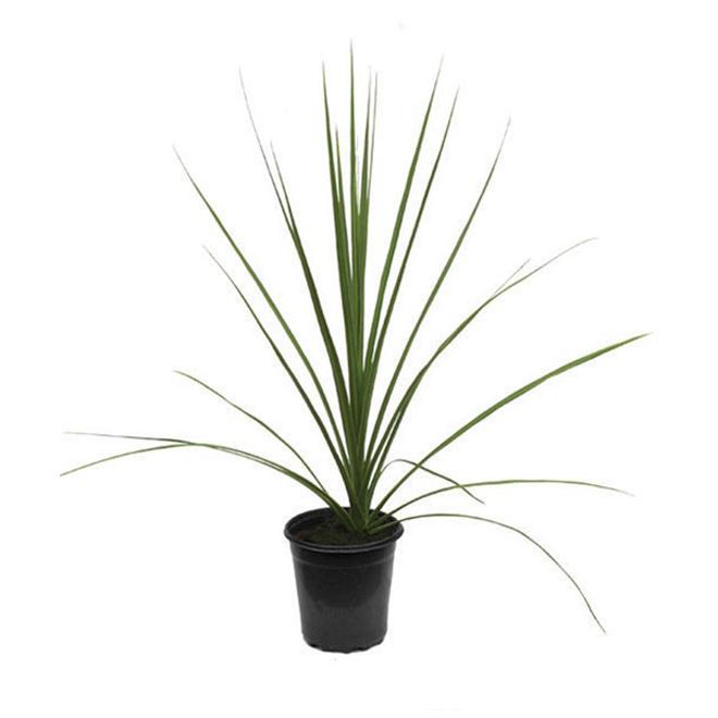 Draceana Filler Plant - 3.5-in