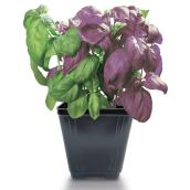 Basil - 2 Colors - Green/Purple