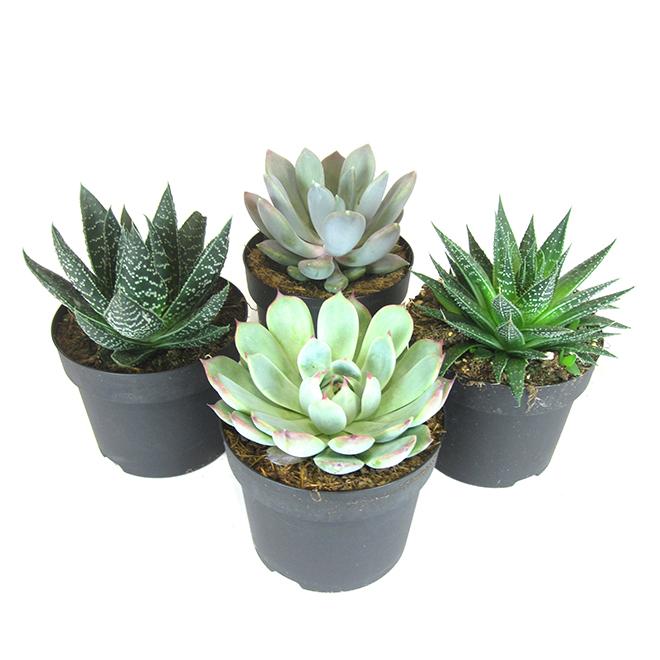 """Succulente, 5"""""""