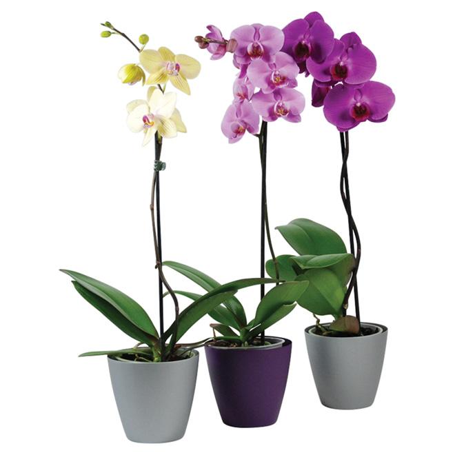 Orchidée Phalaenopsis, pot de 5'', couleurs assorties