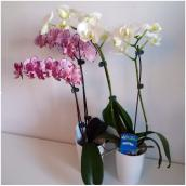 Orchidée Phalaenopsis, pot de 3'', couleurs assorties