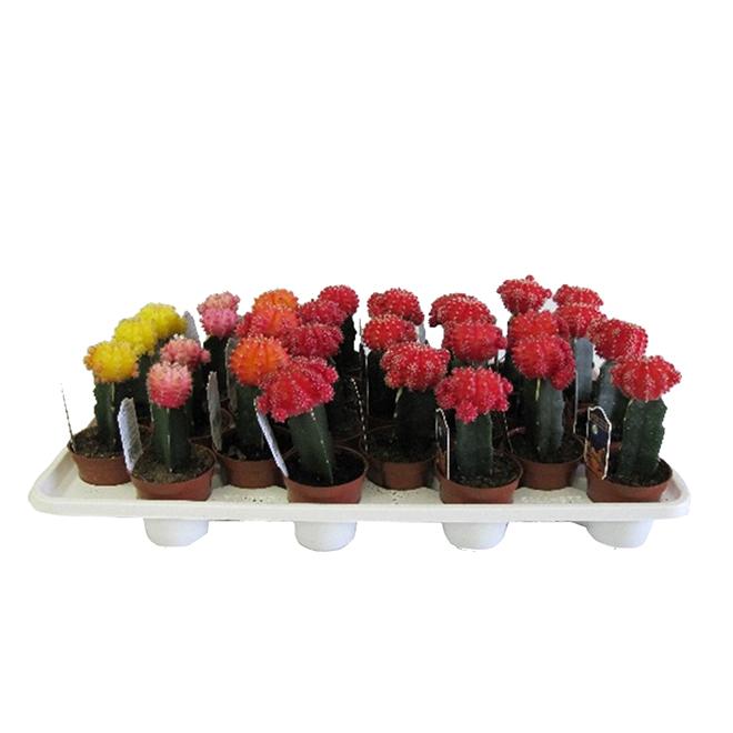 """Cactus greffé assorti, pot de 2,5"""""""