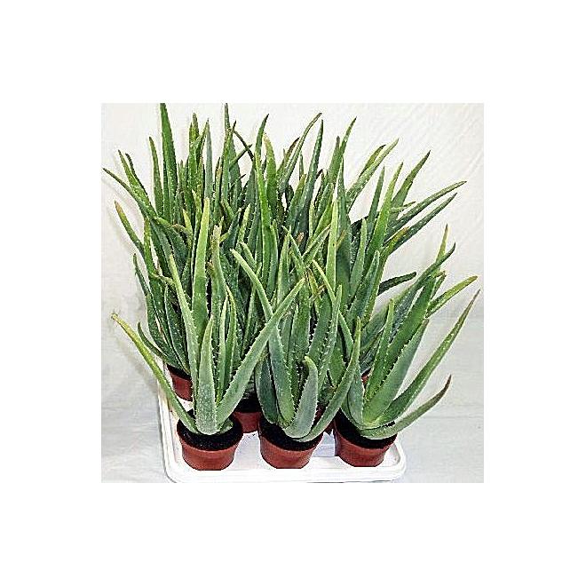 Aloe Vera, pot de 4''