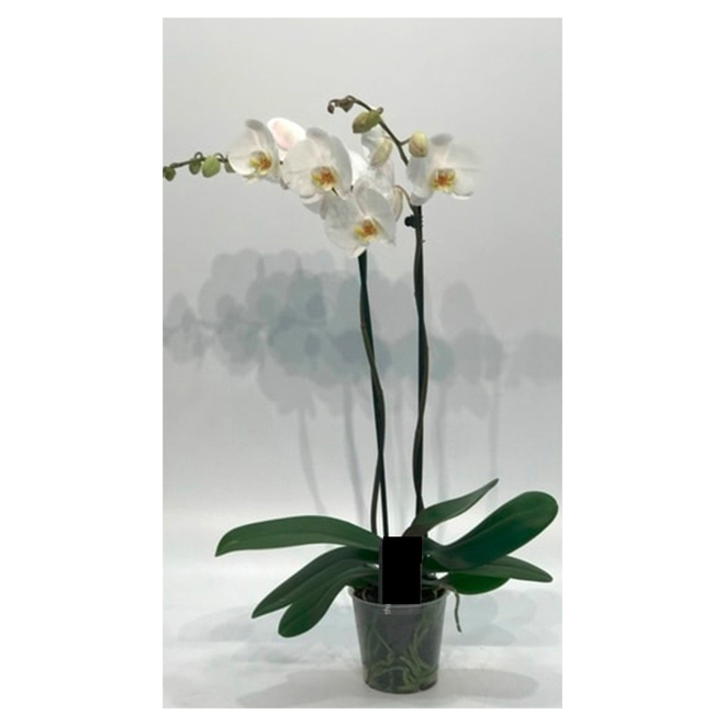 Orchid - #5 - Assorted Colours