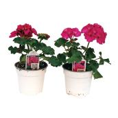 Assorted Colour Geranium - 3.5-in pot