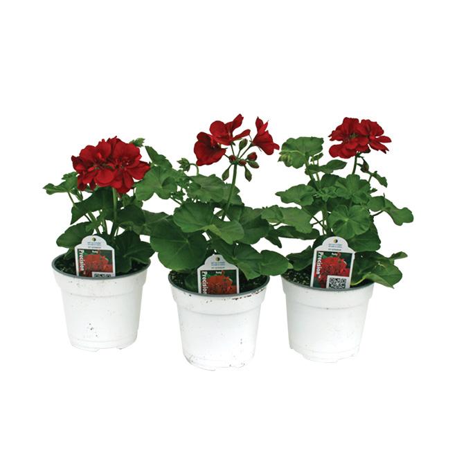 Assorted Colour Geranium - 3.5-in pot