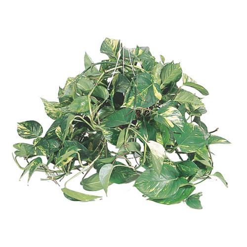 Plante tropicale suspendue, 10''